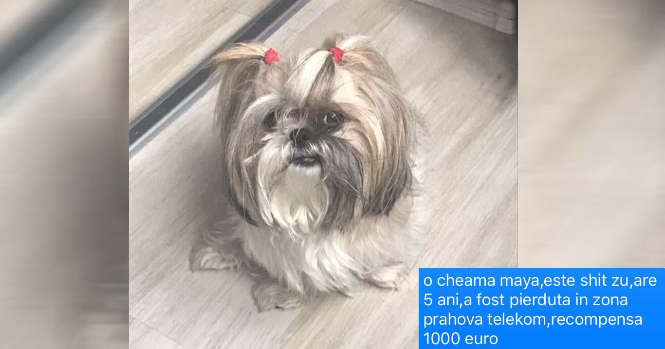 Shih tzu pierdut în zona Hotel Prahova – Telekom. Stăpânul oferă 1000 euro recompensă!